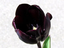 De zwarte tulp 2013 van Toronto Royalty-vrije Stock Afbeeldingen