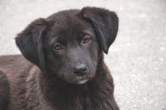 De zwarte van de puppyhond Royalty-vrije Stock Foto's