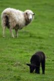 De zwarte van schapen Stock Foto's