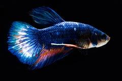 De zwarte van vissenbg Royalty-vrije Stock Afbeelding