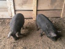 De zwarte Varkens van varkens Amerikaanse Guinea Royalty-vrije Stock Foto's