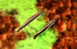 De zwarte vissen van het het potloodaquarium van streep pencilfish Nannostomus stock afbeeldingen