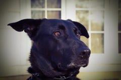 De zwarte vlekken van de herdershond een eekhoorn Stock Foto's