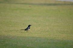 De zwarte vogel Stock Foto's