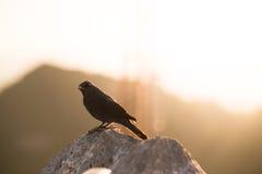 De zwarte vogel bekijkt de camera Royalty-vrije Stock Foto