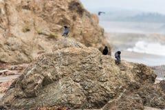 De zwarte vogels rusten op een rots, San Simeon, Californië, de V.S. royalty-vrije stock afbeelding