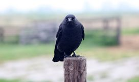 De zwarte vogels van de raafkraai in een koude dag bij Nederland, Europa royalty-vrije stock foto
