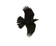 De zwarte vogelskraai die medio lucht vliegen toont binnen detail onder vleugel feathe Stock Afbeeldingen