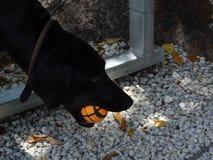 De zwarte Weimaraner-haal van hondspelen met een bal royalty-vrije stock fotografie