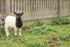 De zwarte witte geit onderzoekt de camera royalty-vrije stock fotografie