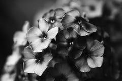 De zwarte witte violette bloemen van de foto mooie Flox Het lawaaierige effect van de filmcamera Zachte nadruk, Ondiepe diepte va royalty-vrije stock afbeelding