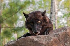 De zwarte Wolf (Canis-wolfszweer) kijkt over Rots Royalty-vrije Stock Foto's