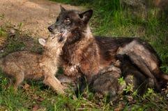 De zwarte Wolf (Canis-wolfszweer) voedt Haar Jongen en wordt Gelikt Royalty-vrije Stock Afbeeldingen