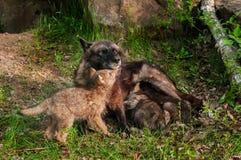De zwarte Wolf (Canis-wolfszweer) voedt Haar Jongen - onder Kin Royalty-vrije Stock Afbeelding