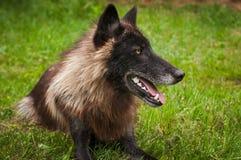 De zwarte wolfszweer van Fasegrey wolf canis ligt in Gras net Kijkend royalty-vrije stock fotografie