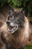 De zwarte wolfszweer van Fasegrey wolf canis ziet omhoog eruit stock afbeelding
