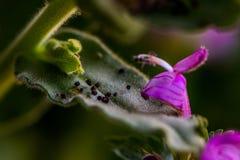 De zwarte zaden van het witte viooltje die op het blad gaan stock foto