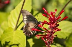 De zwarte zitting van de swallowtailvlinder op de rode installatie royalty-vrije stock afbeeldingen