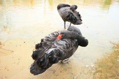 De zwarte Zwaan. Royalty-vrije Stock Afbeelding
