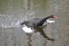 De zwarte zwaan Stock Foto