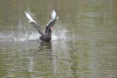 De zwarte zwaan Stock Foto's