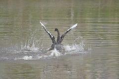 De zwarte zwaan Stock Fotografie