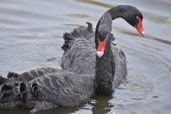 De zwarte zwaan Royalty-vrije Stock Fotografie