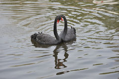 De zwarte zwaan Royalty-vrije Stock Foto's