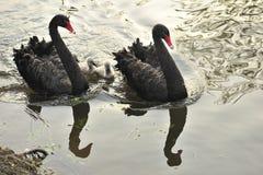 De zwarte zwaan Royalty-vrije Stock Afbeelding