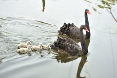 De zwarte zwaan Stock Afbeeldingen