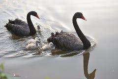 De zwarte zwaan Royalty-vrije Stock Afbeeldingen