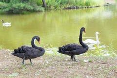 De zwarte zwaan Royalty-vrije Stock Foto