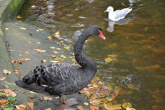 De zwarte zwaan (Cygnus-atratus Latham) en de zeemeeuw bevinden zich op de kust Royalty-vrije Stock Fotografie
