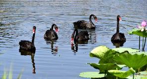 De zwarte zwaan in de vijver Stock Afbeeldingen