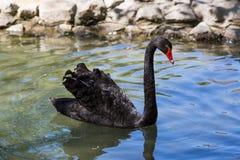 De zwarte zwaan drijft in de vijver, zoölogische tuin van de Nationale Reserve askania-Nova Royalty-vrije Stock Afbeeldingen