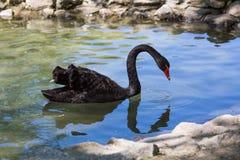 De zwarte zwaan drijft in de vijver, zoölogische tuin van de Nationale Reserve askania-Nova Stock Foto's