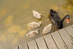 De zwarte zwaan en de jonge zwanen planked dichtbij lakeshore Royalty-vrije Stock Afbeeldingen