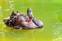 De zwarte zwaan zwemt in groene vijver Juozoalus Palanga Royalty-vrije Stock Fotografie