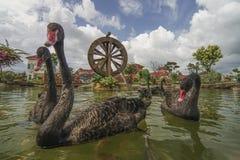 De zwarte zwaan zwemt met koivissen in tuin met watermill stock afbeeldingen
