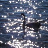 De zwarte Zwaan zwemt op Water in Sunny Day Royalty-vrije Stock Afbeeldingen