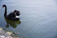 De zwarte zwaanvlotters op water Wilde vogel Vrije Vogel Ruimte voor tekst stock fotografie