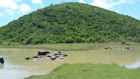 De zwemmende buffels Stock Foto's