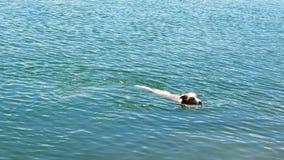 De zwemmende houten tak van de hondgreep in ocrean Royalty-vrije Stock Fotografie