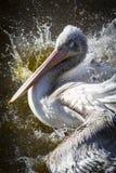 De zwemmende pelikaan bespat rond Royalty-vrije Stock Afbeeldingen
