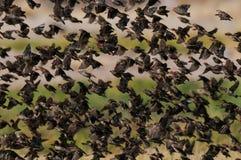 De zwerm van Redbilledquelea in de lucht stock foto's