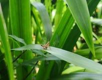 De zwermende Bruine vultrechter van de sprinkhanensprinkhaan over groen blad royalty-vrije stock afbeeldingen