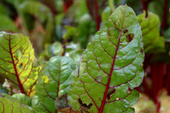 De Zwitserse bladeren van de snijbieteninstallatie die gedeeltelijk door ongedierte worden gegeten Stock Foto's