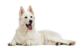De Zwitserse hond van de Herder, 5 jaar oud, omhoog liggend, hijgend en kijkend Royalty-vrije Stock Afbeeldingen