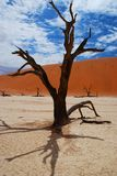 Dead acacia in Deadvlei. Sossusvlei, Namib-Naukluf. Deadvlei is a white clay pan located near the more famous salt pan of Sossusvlei, inside the Namib-Naukluft Royalty Free Stock Photography