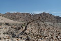 Dead acacia tree in arid mountains, Oman royalty free stock images